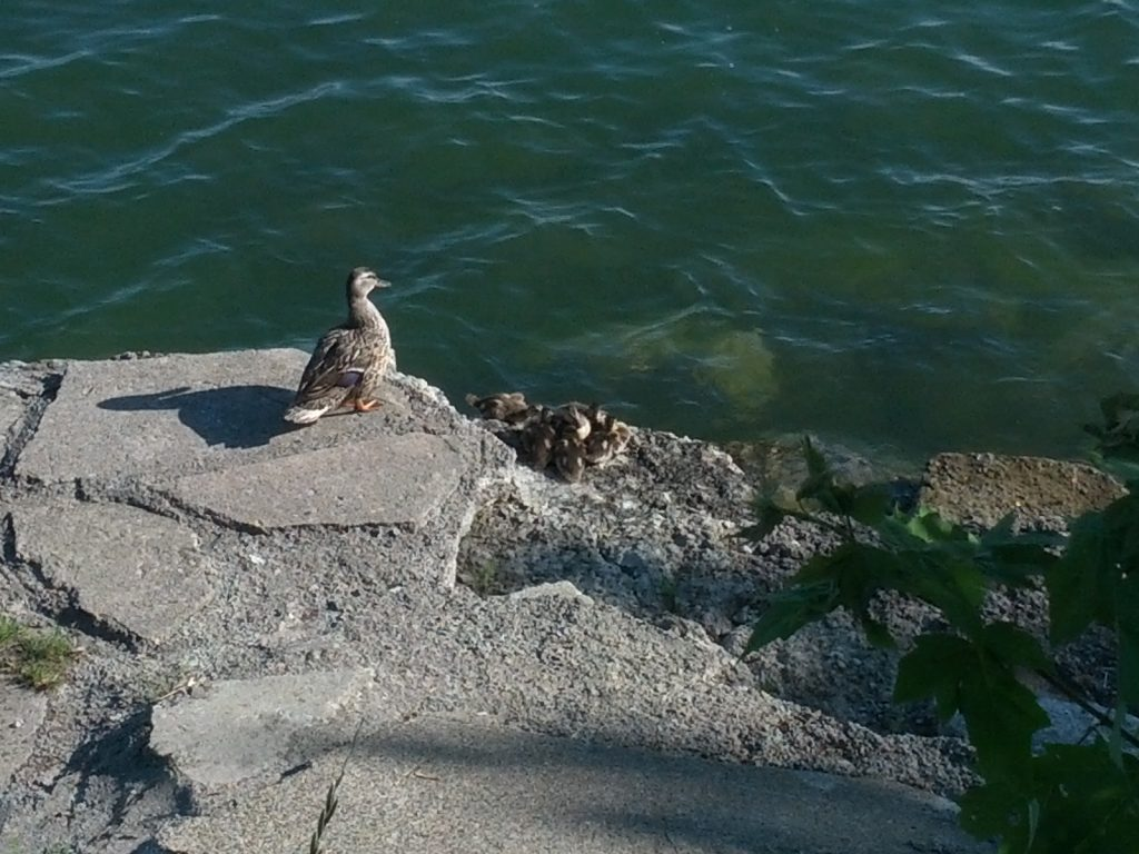 A mallard duck takes her brood of ducklings on an excursion.