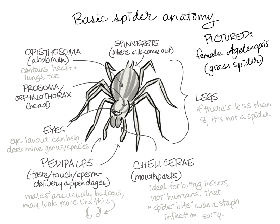 Male Spider Anatomy Images Human Body Anatomy
