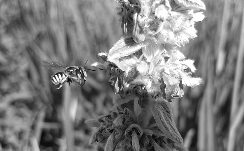 A bee hovers by a lamb's ear plant in Nathan Phillips Square.