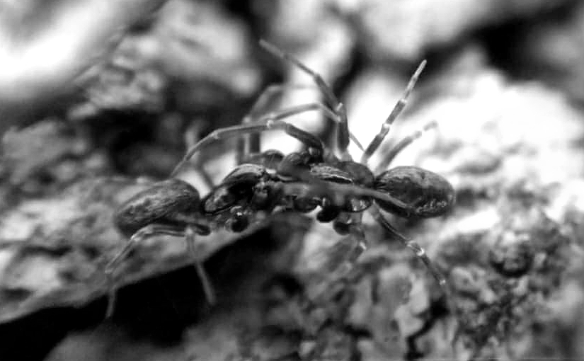 Black-and-white photo of two mesh-web weavers (family Dictynidae) fighting