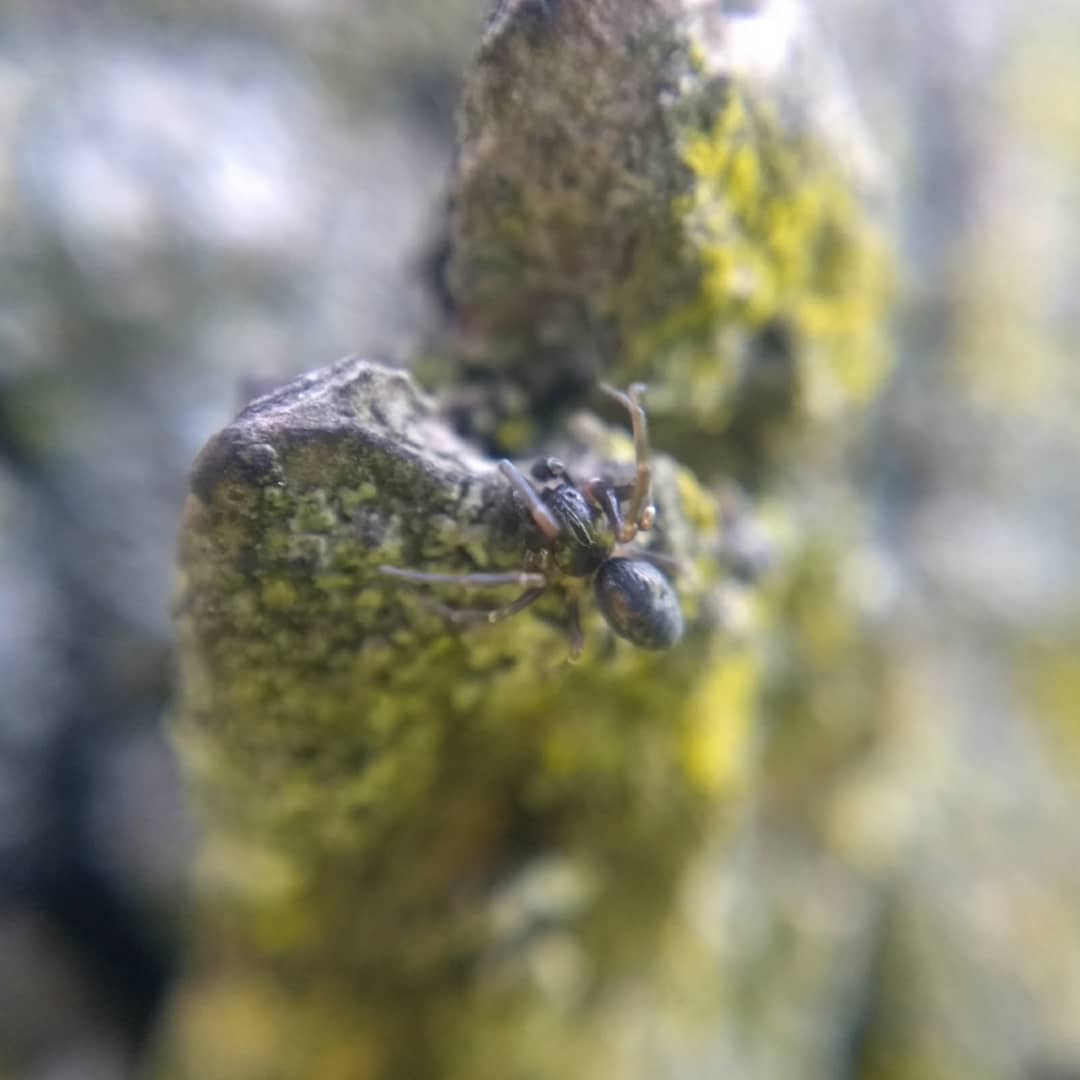 The other male dictynid hiding behind an outcrop of bark