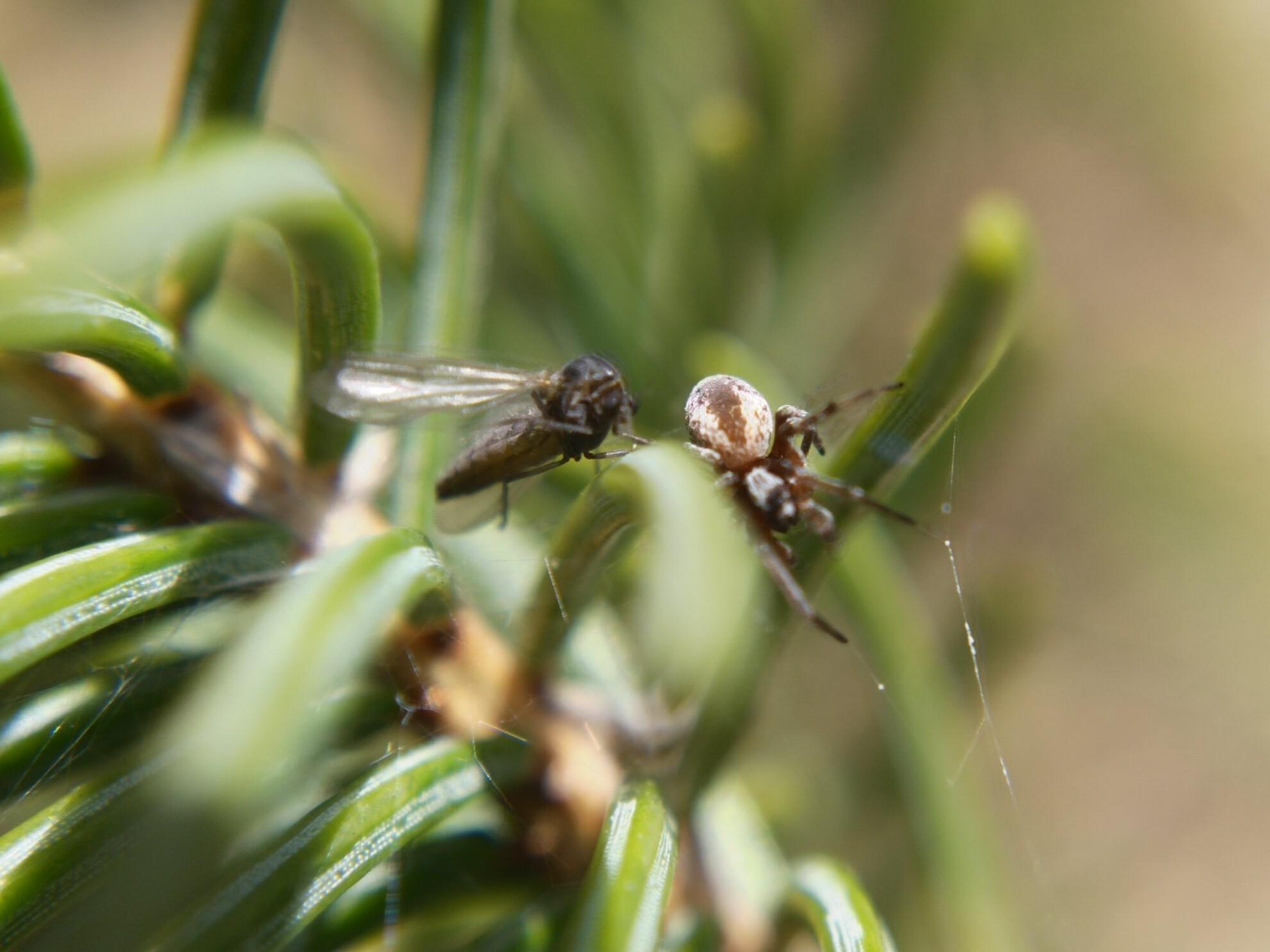 Mesh-web weaver leaving its prey