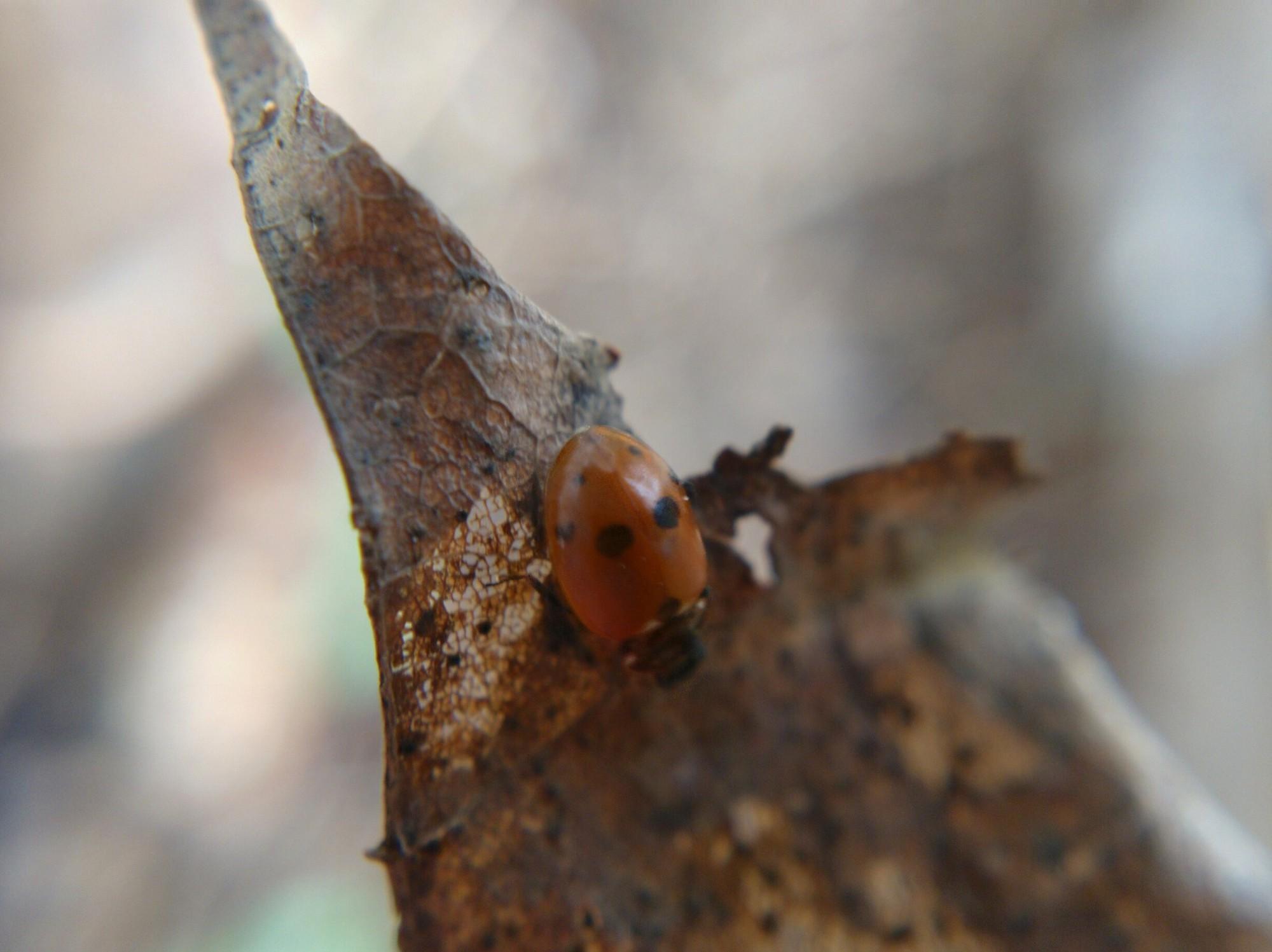 Ladybug on a dead leaf