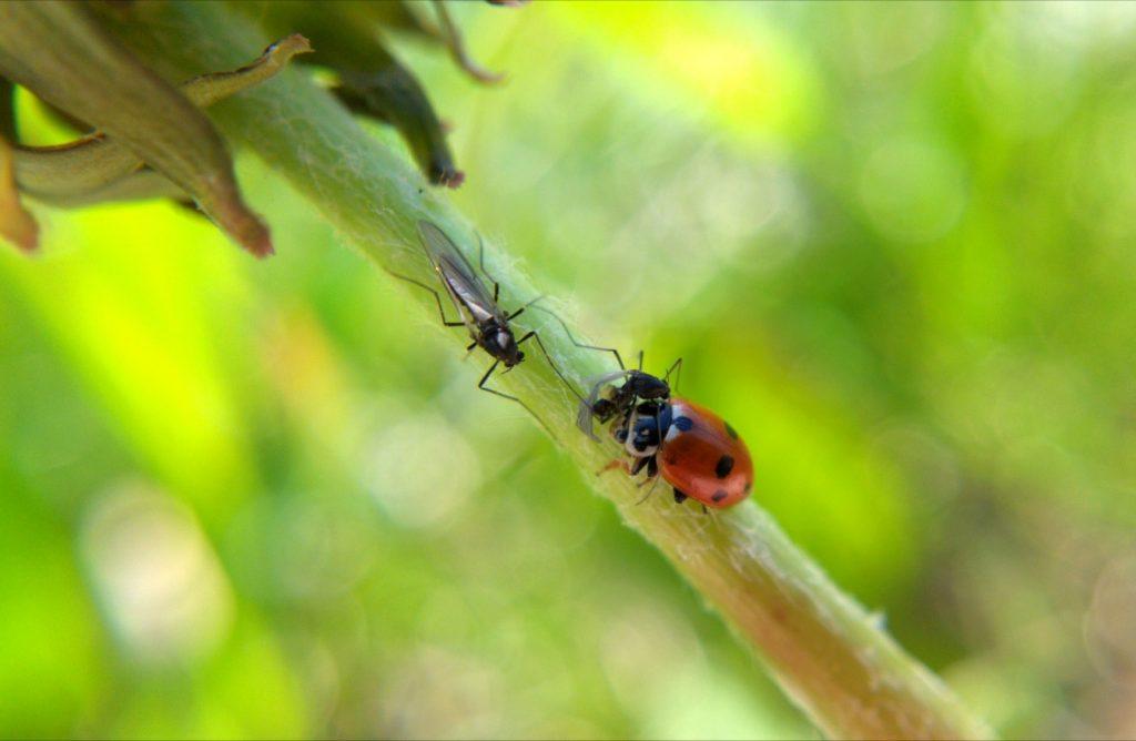 A midge and a ladybug eating a midge meet on a dandelion stem