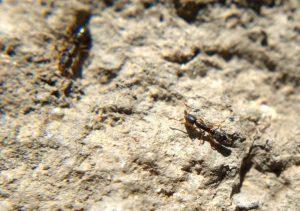 A long thin dark ant