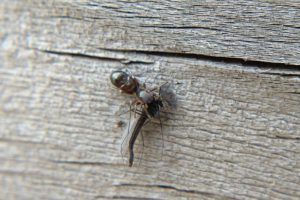Ant-mimic jumping spider eating midge