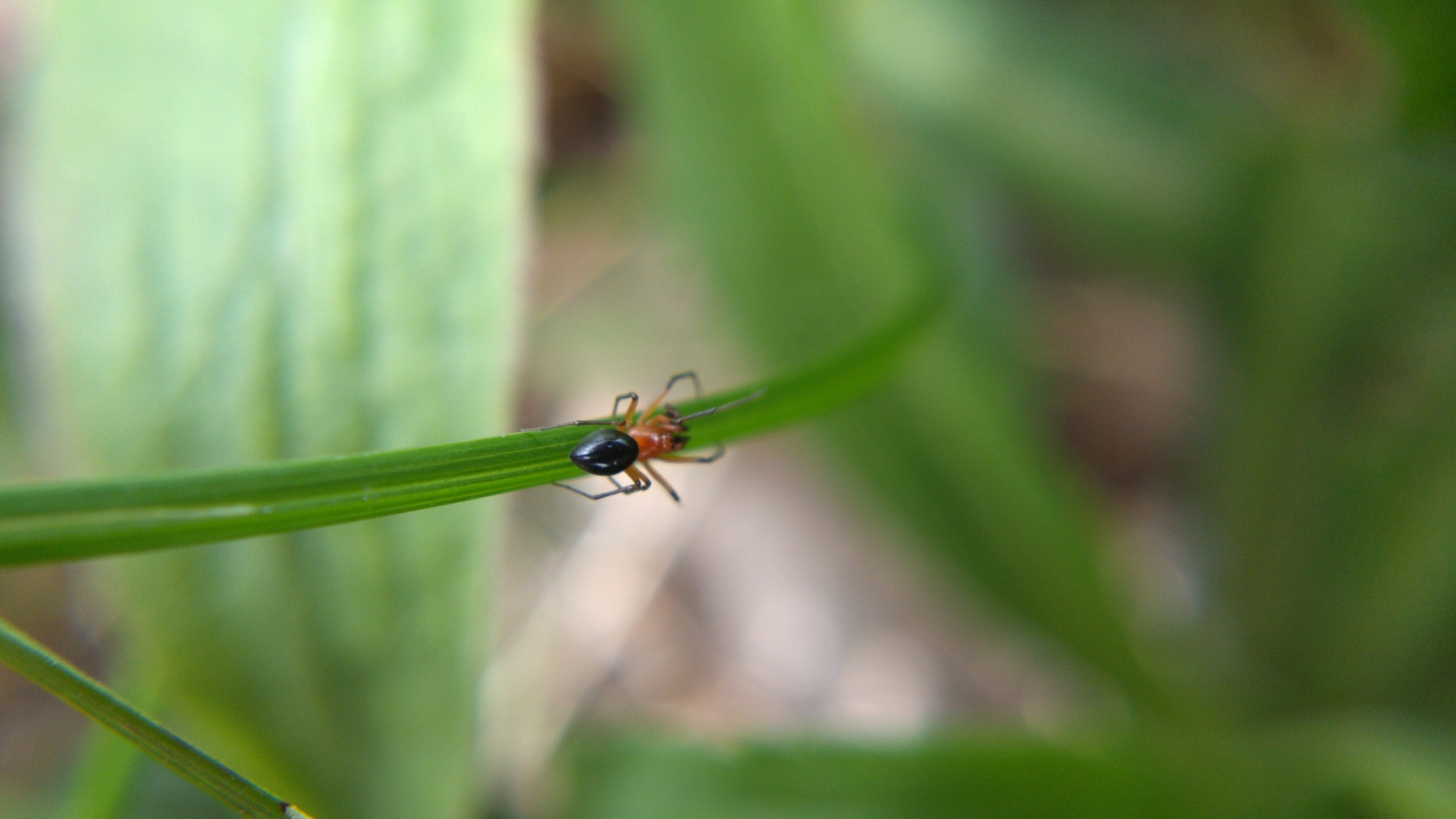 Blurry macro shot of H. florens on a blade of grass
