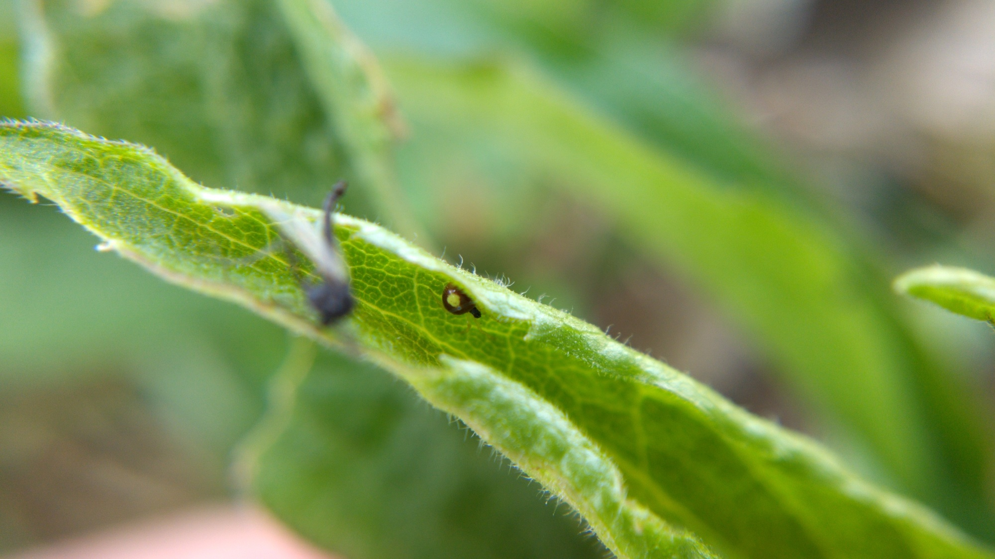 Theridula glimpsed in a curled-up goldenrod leaf