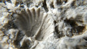 The imprint of a fossil shell in limestone