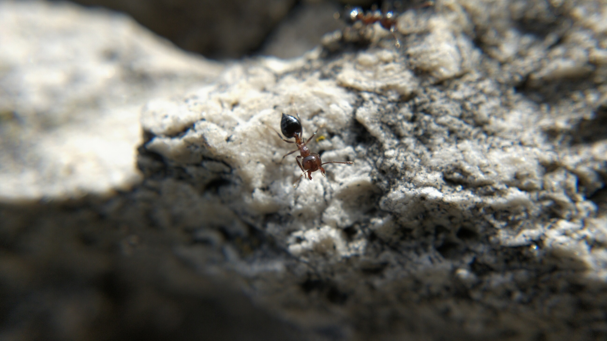A Crematogaster ant with its jaws open