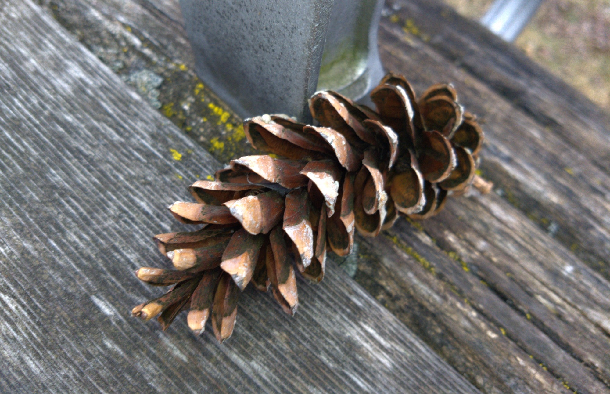 Field Journal: A Sunnyside pinecone