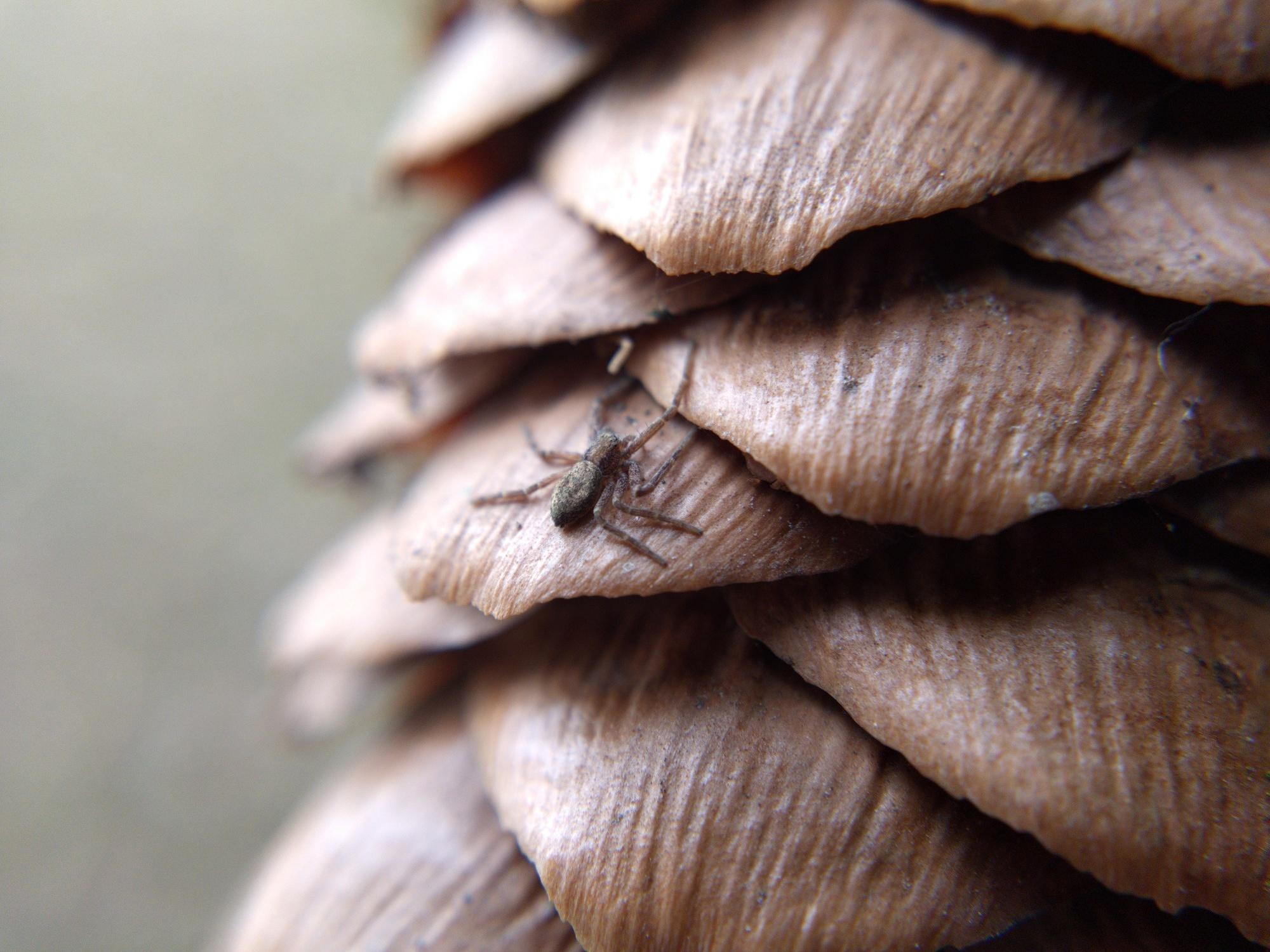 Running crab spider on spruce cone
